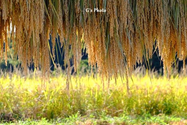 稲架掛け成木220201025