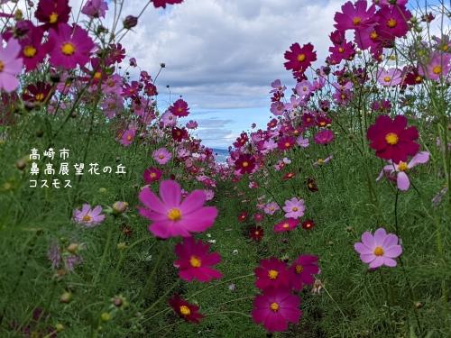 20211006群馬県高崎市、鼻高展望花の丘・コスモス1