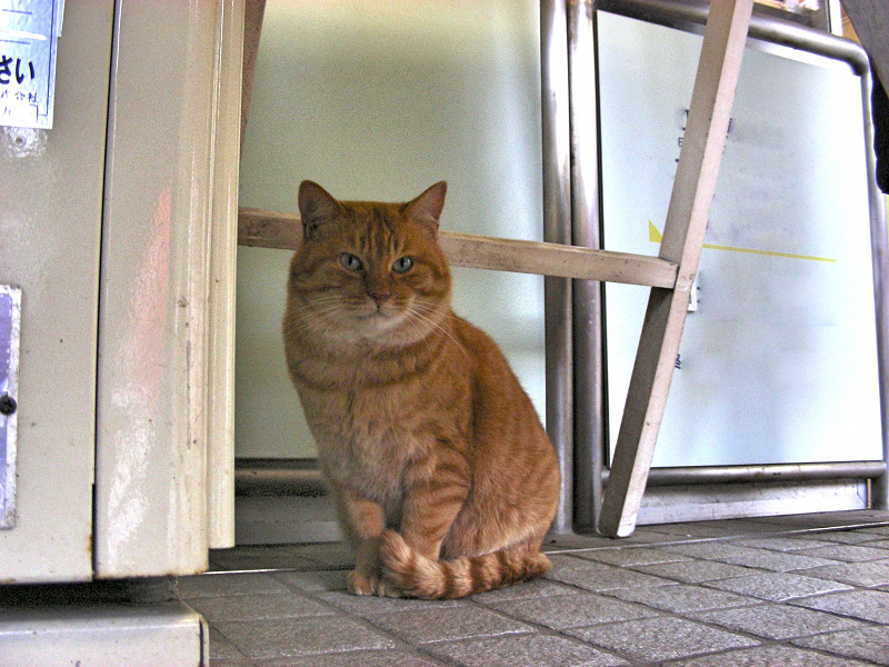 顔がデカイ茶トラ猫2