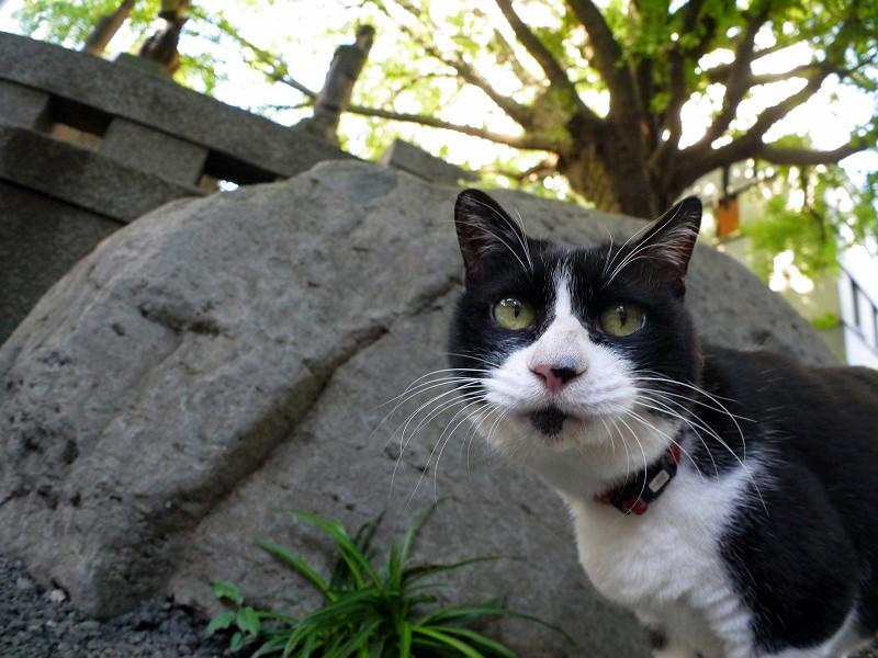岩の前の黒白猫3