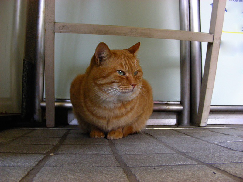 座った顔がデカイ茶トラ猫1