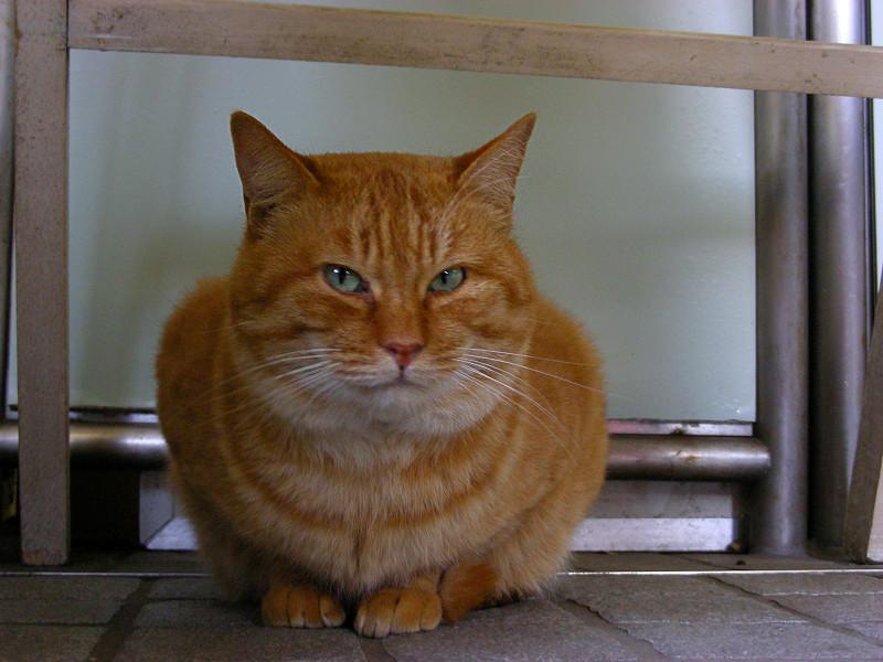 座った顔がデカイ茶トラ猫2