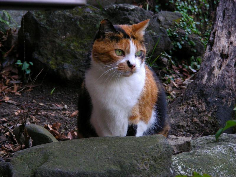渋い表情の三毛猫1