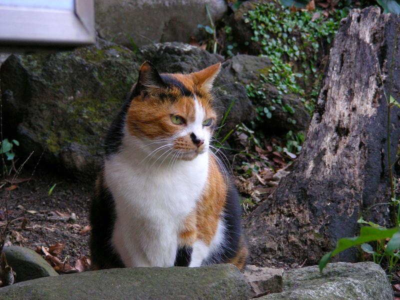渋い表情の三毛猫2
