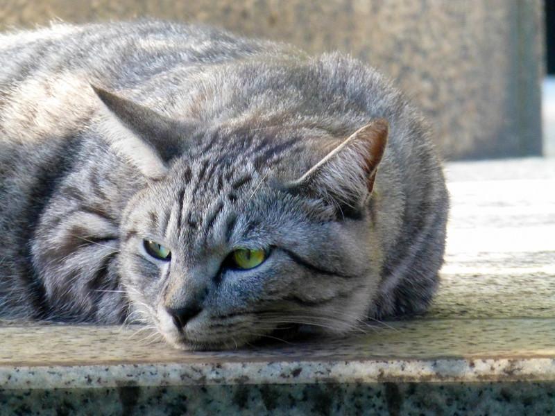 サバトラ猫の腹ばい姿2