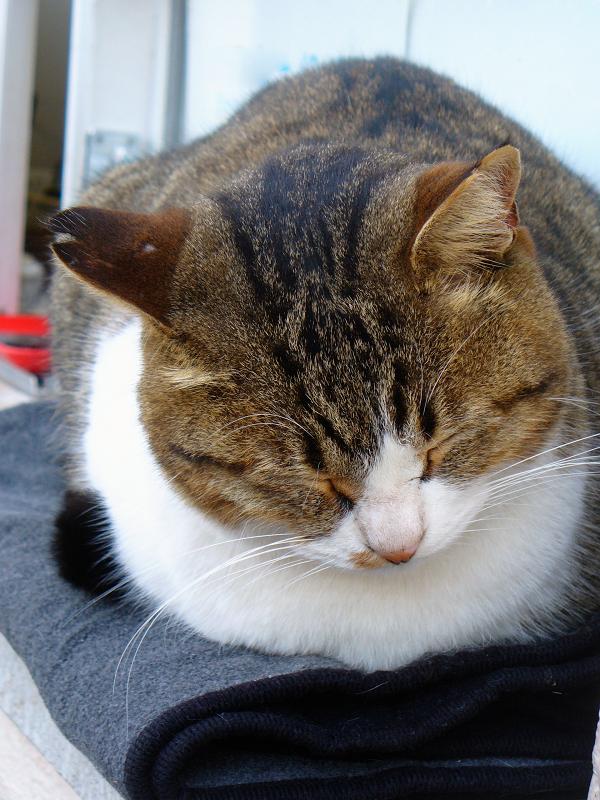 専用毛布で寝てるキジ白猫2