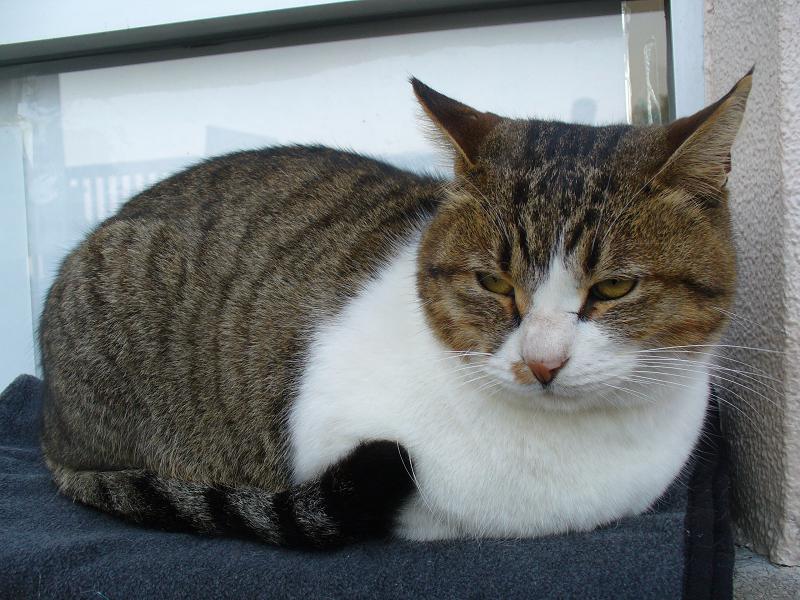 専用毛布で寝てるキジ白猫3