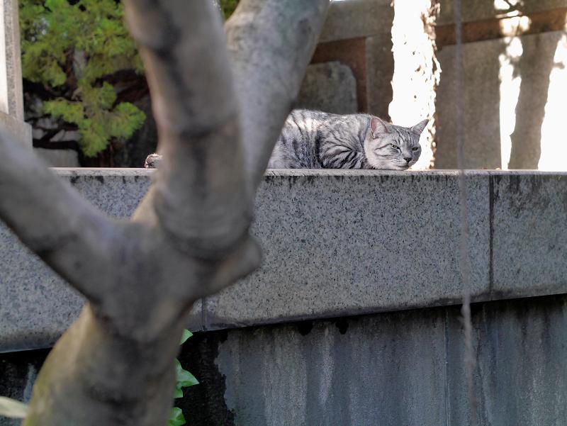 視線を動かして見てるサバトラ猫1
