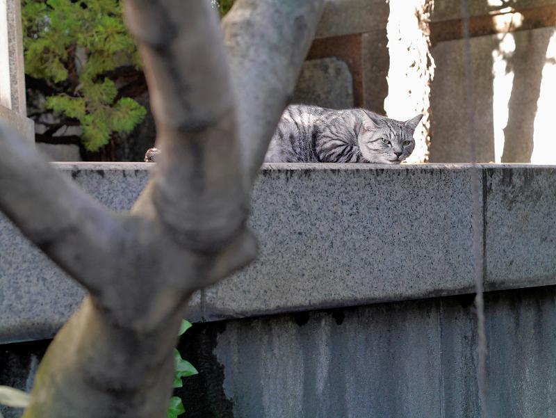 視線を動かして見てるサバトラ猫2