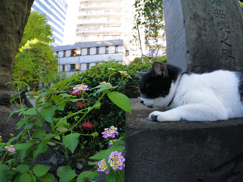 半分寝てる黒白猫1