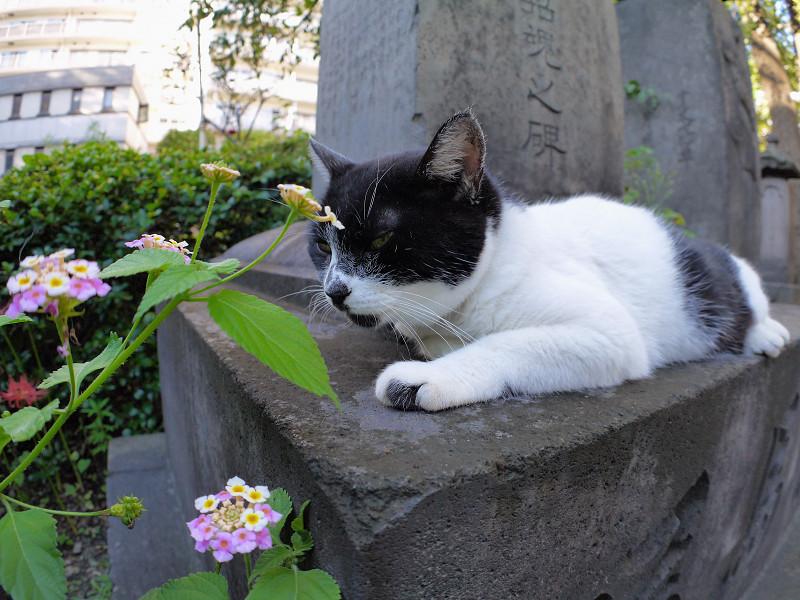 半分寝てる黒白猫2