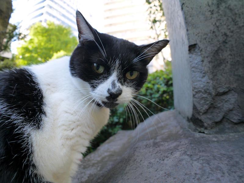 睨んでる黒白猫2