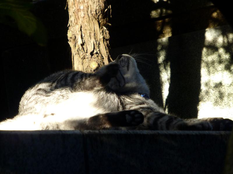 手足が伸びてるサバトラ猫2