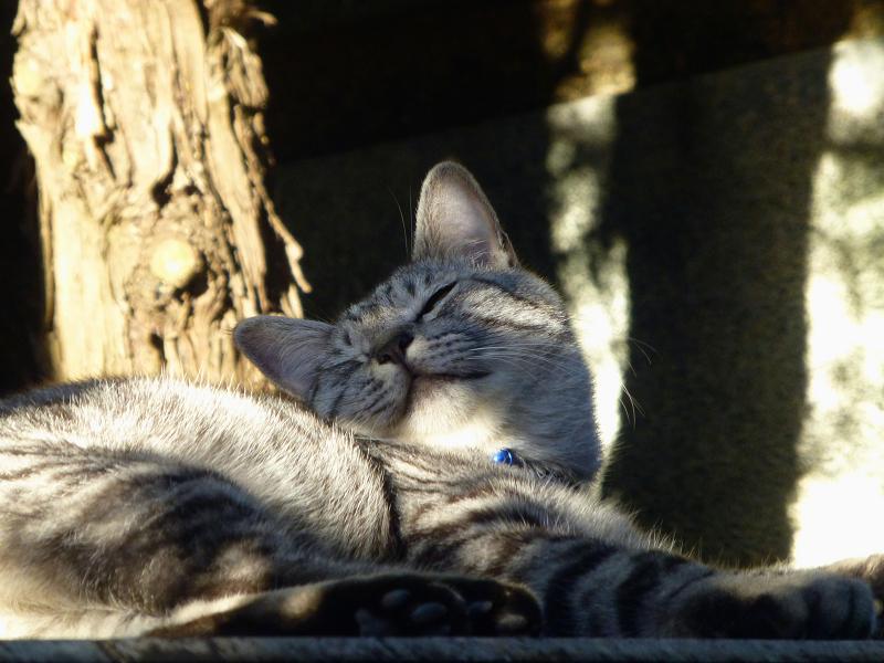 眠気覚ましのアクビとサバトラ猫1