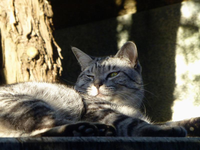 眠気覚ましのアクビとサバトラ猫3