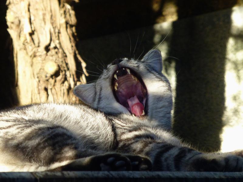 眠気覚ましのアクビとサバトラ猫2