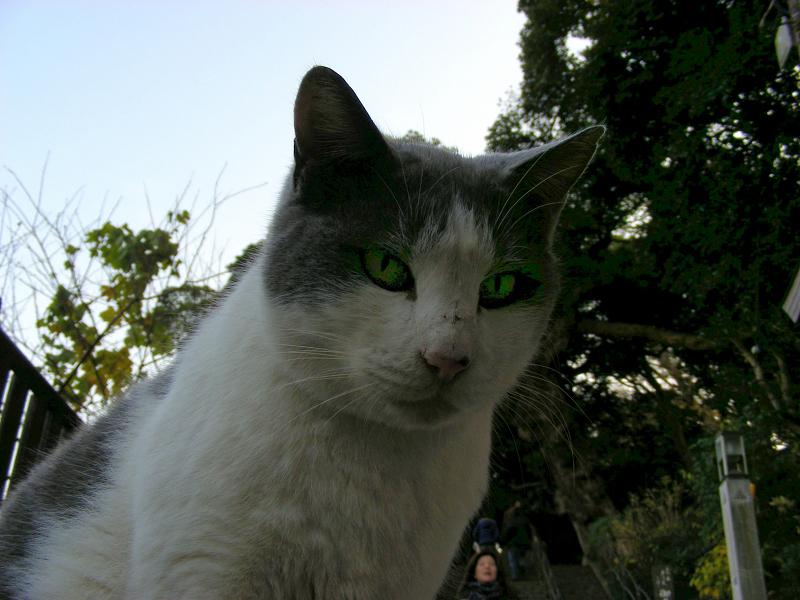 参道に座ってるグレー白猫3