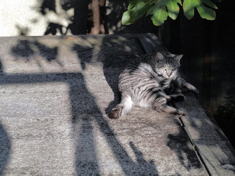 起き上がるサバトラ猫1