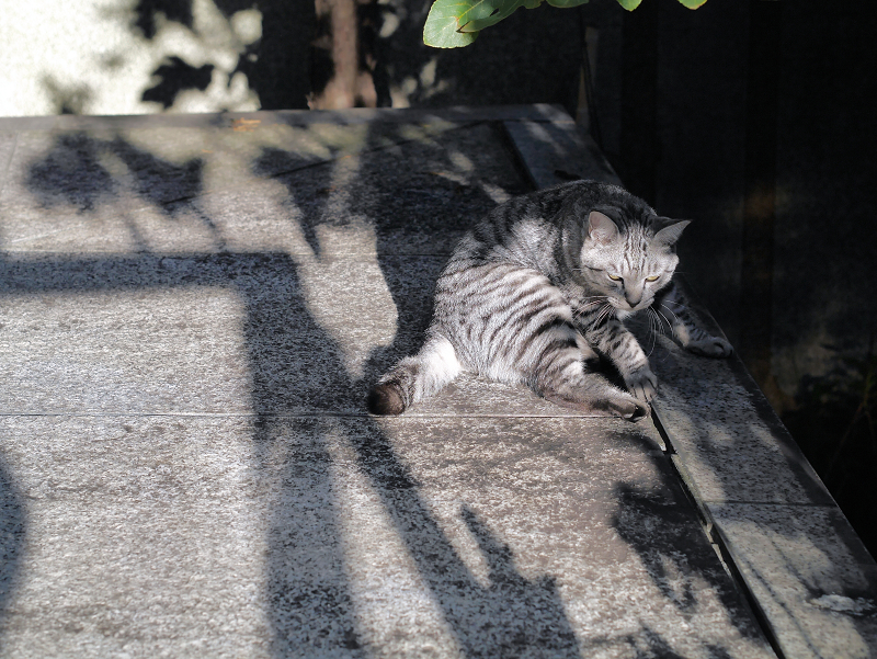 起き上がるサバトラ猫2