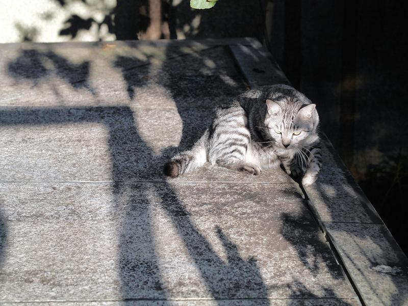 起き上がるサバトラ猫3