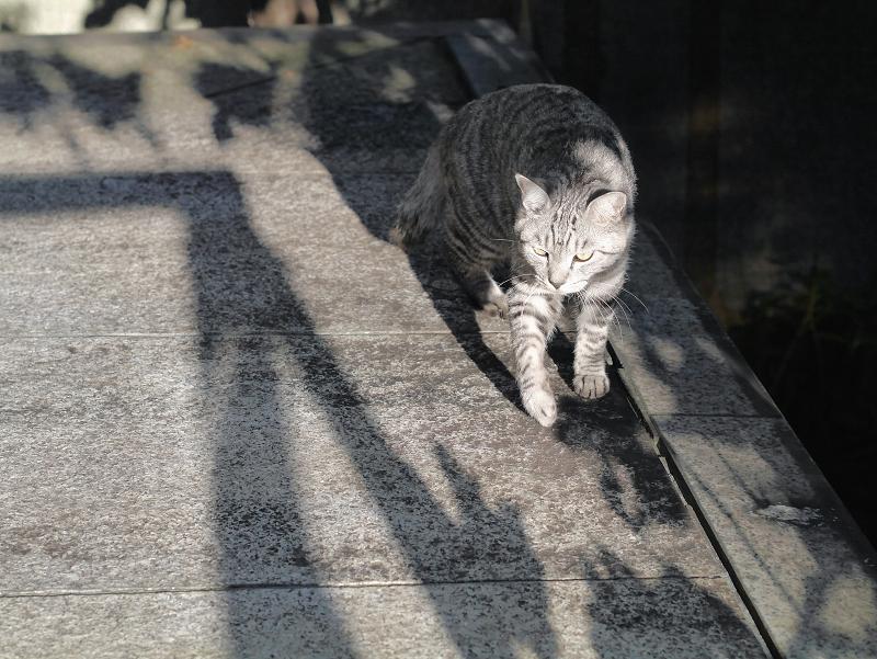 起き上がるサバトラ猫4