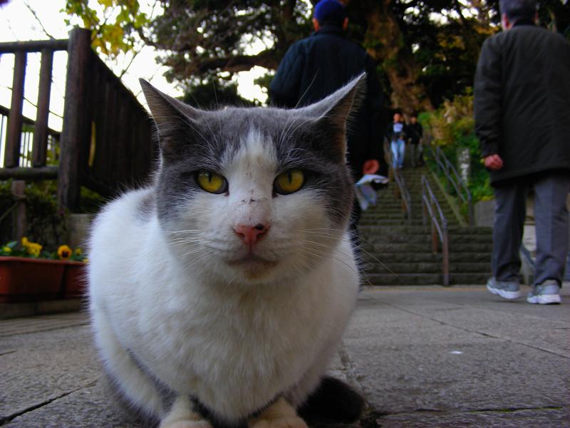 低い姿勢で座ったグレー白猫1